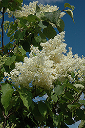 Ivory Silk Tree Lilac (tree form) (Syringa reticulata 'Ivory Silk (tree form)') at Wallitsch Garden Center