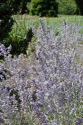 Lacey Blue Russian Sage (Perovskia atriplicifolia 'Lacey Blue') at Wallitsch Nursery And Garden Center