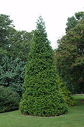 Green Giant Arborvitae (Thuja 'Green Giant') at Wallitsch Garden Center