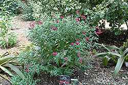 Miss Ruby Butterfly Bush (Buddleia davidii 'Miss Ruby') at Wallitsch Nursery And Garden Center