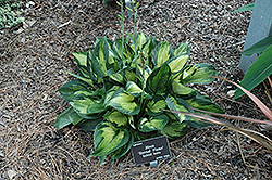 Eternal Flame Hosta (Hosta 'Eternal Flame') at Wallitsch Garden Center