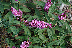 Lo And Behold® Pink Micro Chip Dwarf Butterfly Bush (Buddleia 'Lo And Behold Pink Micro Chip') at Wallitsch Garden Center