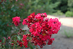 Siren Red Crapemyrtle (Lagerstroemia indica 'Whit VII') at Wallitsch Nursery And Garden Center