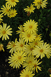 Voltage™ Yellow African Daisy (Osteospermum 'Voltage Yellow') at Wallitsch Garden Center
