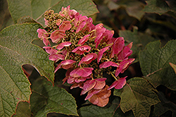 Ruby Slippers Hydrangea (Hydrangea quercifolia 'Ruby Slippers') at Wallitsch Nursery And Garden Center