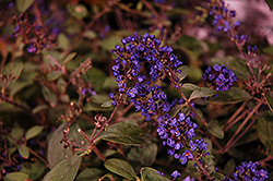 Lo And Behold® Blue Chip Junior Dwarf Butterfly Bush (Buddleia 'Lo And Behold Blue Chip Junior') at Wallitsch Nursery And Garden Center