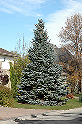 Baby Blue Blue Spruce (Picea pungens 'Baby Blue') at Wallitsch Nursery And Garden Center