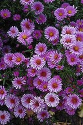 Purple Dome Aster (Aster novae-angliae 'Purple Dome') at Wallitsch Garden Center