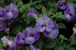 Blue Moon Torenia (Torenia 'Blue Moon') at Wallitsch Nursery And Garden Center