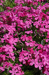 Drummond's Pink Moss Phlox (Phlox subulata 'Drummond's Pink') at Wallitsch Nursery And Garden Center