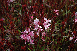 Passionate Blush Gaura (Gaura lindheimeri 'Passionate Blush') at Wallitsch Nursery And Garden Center