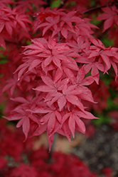 Twombly's Red Sentinel Japanese Maple (Acer palmatum 'Twombly's Red Sentinel') at Wallitsch Nursery And Garden Center