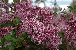 Bloomerang® Purple Lilac (Syringa 'Penda') at Wallitsch Garden Center