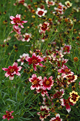 Berry Chiffon Tickseed (Coreopsis 'Berry Chiffon') at Wallitsch Nursery And Garden Center
