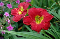 Happy Ever Appster® Red Hot Returns Daylily (Hemerocallis 'Red Hot Returns') at Wallitsch Garden Center