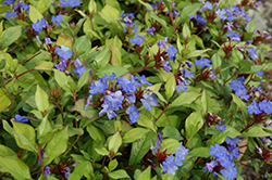 Plumbago (Ceratostigma plumbaginoides) at Wallitsch Nursery And Garden Center