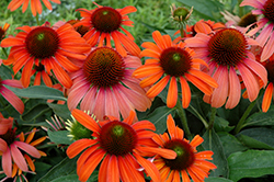 Julia Coneflower (Echinacea 'Julia') at Wallitsch Nursery And Garden Center