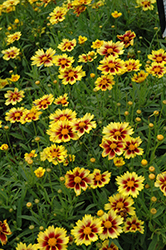 Enchanted Eve Tickseed (Coreopsis 'Enchanted Eve') at Wallitsch Garden Center