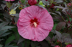 Summerific® Berry Awesome Hibiscus (Hibiscus 'Berry Awesome') at Wallitsch Garden Center