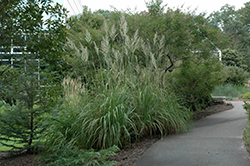 Pampass Grass (Erianthus ravennae) at Wallitsch Garden Center