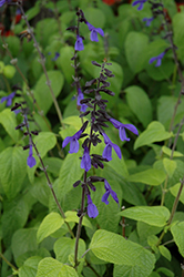 Black And Bloom Sage (Salvia guaranitica 'Black And Bloom') at Wallitsch Garden Center