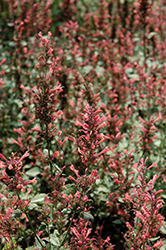 Kudos Coral Hyssop (Agastache 'Kudos Coral') at Wallitsch Nursery And Garden Center