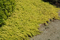 Goldilocks Creeping Jenny (Lysimachia nummularia 'Goldilocks') at Wallitsch Nursery And Garden Center