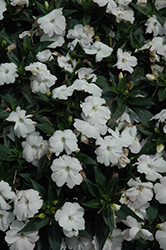 SunPatiens® Compact White New Guinea Impatiens (Impatiens 'SunPatiens Compact White') at Wallitsch Garden Center