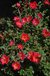Mojave Red Portulaca (Portulaca grandiflora 'Mojave Red') at Wallitsch Nursery And Garden Center
