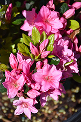Tradition Azalea (Rhododendron 'Tradition') at Wallitsch Nursery And Garden Center