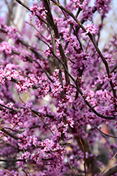 Ace Of Hearts Redbud (Cercis canadensis 'Ace Of Hearts') at Wallitsch Garden Center