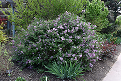 Bloomerang® Lilac (Syringa 'Bloomerang') at Wallitsch Nursery And Garden Center