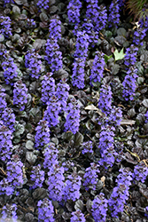 Black Scallop Bugleweed (Ajuga reptans 'Black Scallop') at Wallitsch Nursery And Garden Center