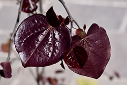 Ruby Falls Redbud (Cercis canadensis 'Ruby Falls') at Wallitsch Nursery And Garden Center