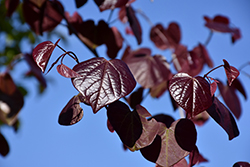 Merlot Redbud (Cercis canadensis 'Merlot') at Wallitsch Garden Center