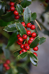 Christmas Jewel Holly (Ilex 'HL10-90') at Wallitsch Nursery And Garden Center