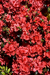 Stewartstonian Azalea (Rhododendron 'Stewartstonian') at Wallitsch Nursery And Garden Center