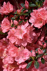 Blaauw's Pink Azalea (Rhododendron 'Blaauw's Pink') at Wallitsch Nursery And Garden Center