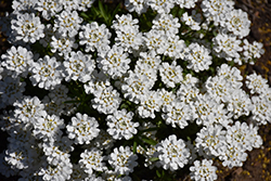 Whiteout Candytuft (Iberis sempervirens 'Whiteout') at Wallitsch Nursery And Garden Center