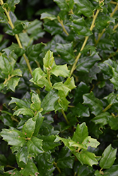 China Girl Meserve Holly (Ilex x meserveae 'China Girl') at Wallitsch Nursery And Garden Center