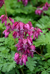 Luxuriant Bleeding Heart (Dicentra 'Luxuriant') at Wallitsch Garden Center