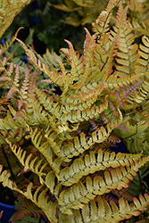 Brilliance Autumn Fern (Dryopteris erythrosora 'Brilliance') at Wallitsch Garden Center