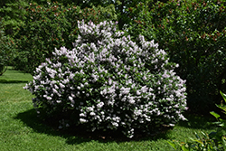 Miss Kim Lilac (Syringa patula 'Miss Kim') at Wallitsch Nursery And Garden Center