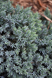 Blue Star Juniper (Juniperus squamata 'Blue Star') at Wallitsch Garden Center