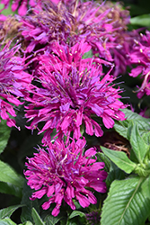 Grape Gumball Beebalm (Monarda 'Grape Gumball') at Wallitsch Nursery And Garden Center
