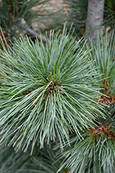 Silver Whispers Swiss Stone Pine (Pinus cembra 'Silver Whispers') at Wallitsch Nursery And Garden Center