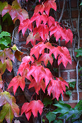 Boston Ivy (Parthenocissus tricuspidata) at Wallitsch Nursery And Garden Center