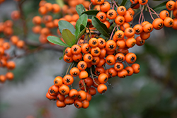 Lowboy Scarlet Firethorn (Pyracantha coccinea 'Lowboy') at Wallitsch Nursery And Garden Center