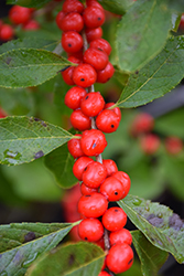 Red Sprite Winterberry (Ilex verticillata 'Red Sprite') at Wallitsch Nursery And Garden Center