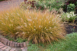 Hameln Dwarf Fountain Grass (Pennisetum alopecuroides 'Hameln') at Wallitsch Garden Center